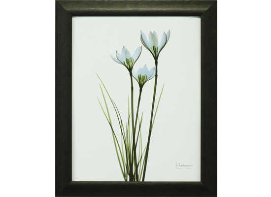 blue rain lily (print 113)