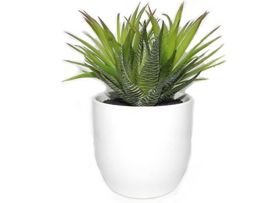 cactus (flo 55)