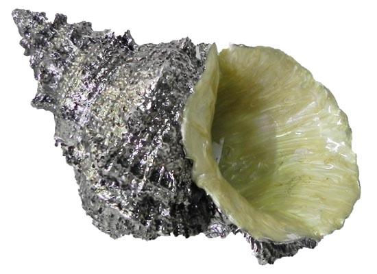 seashell (acc 111)