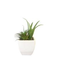 Cactus (FLO218)