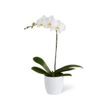 White Orchid w/ White Base (FLO224)